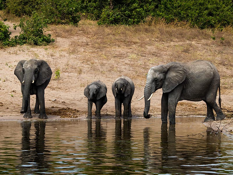 Botswana-Chobe-Elephants