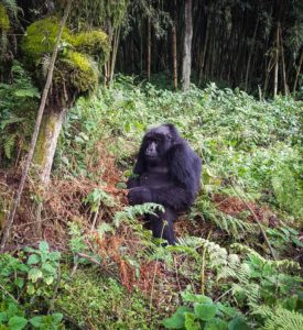 Rwanda_Gorillas