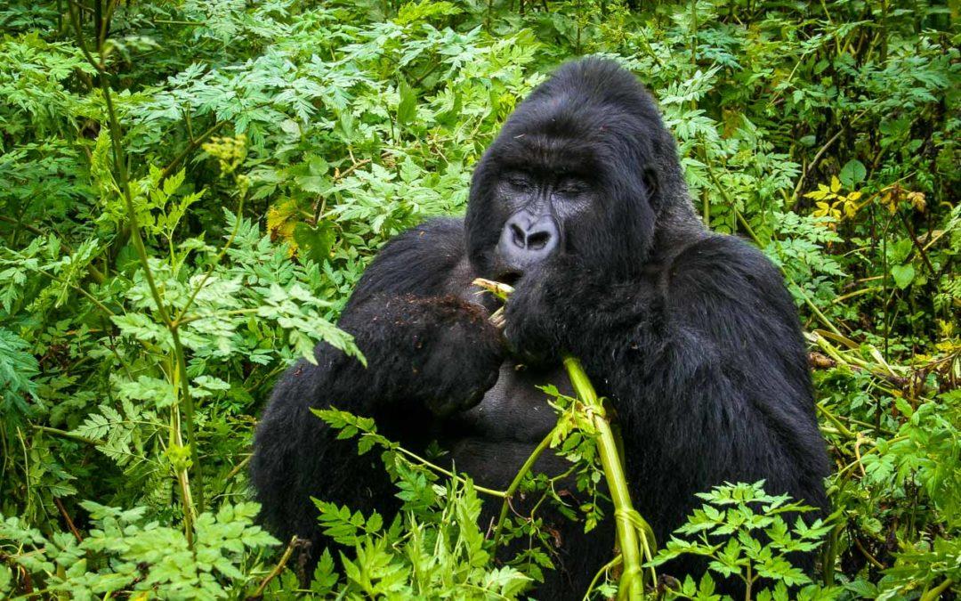 Meeting Mountain Gorillas